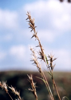 Broad leaved Turpentine Grass