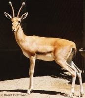 Red Fronted Gazelle